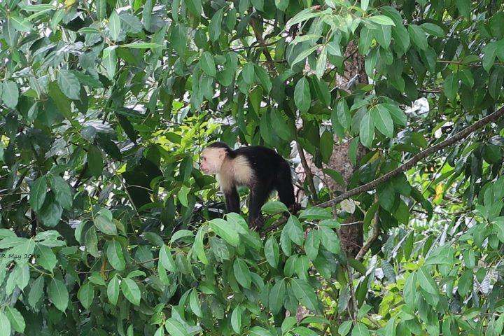 Capuchino - Kapuzineräffchen. Die ganz frechen.