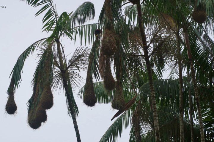 Vogelnester des Montezuma Oropendola