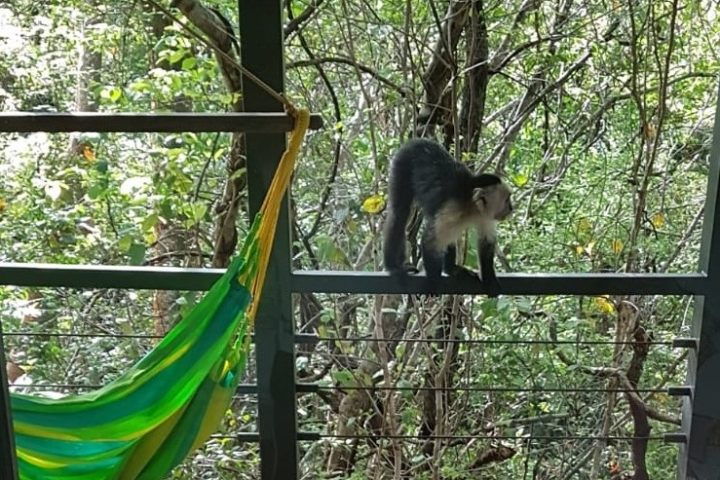 Kapuzineräffchen - Capuchinos, die ganz frechen