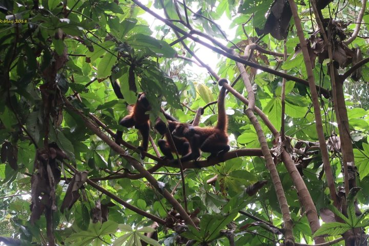 spider monkeys - Klammeraffen