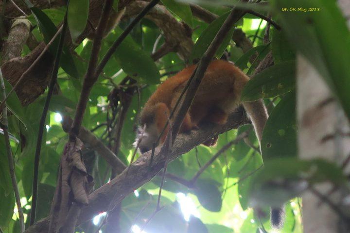 squirrel monkey - Totenkopfäffchen
