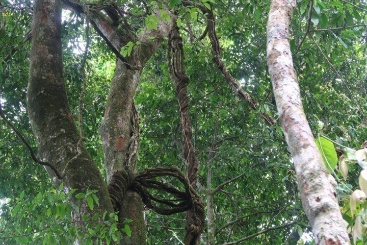 Baum, Liane, grün