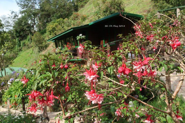 Blühende Fuchsien auf 2600 müM