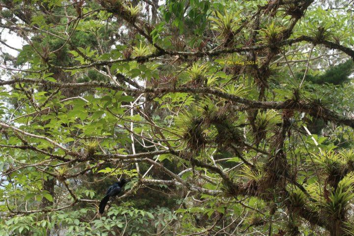 Eine costaricanische Elster