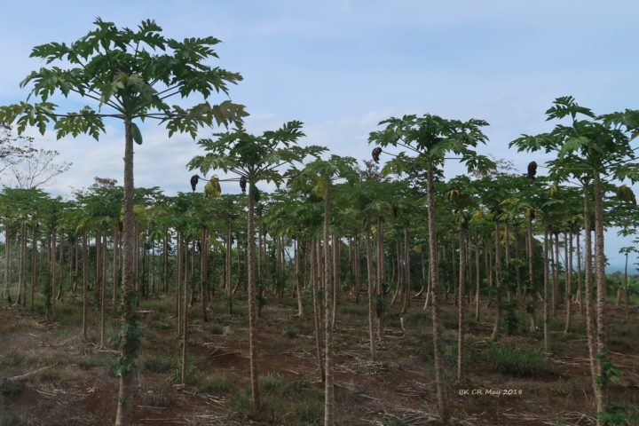 Papaya-Plantage